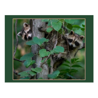 Cute Baby Raccoons /Border Postcard