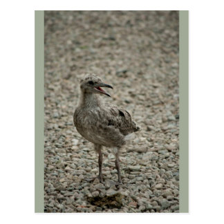Cute Baby Seagull Chick Postcard