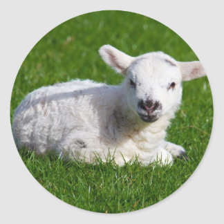 Cute baby sheep lying in grass round sticker