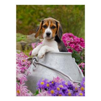 Cute Beagle Dog Puppy in a Milk Churn Photography