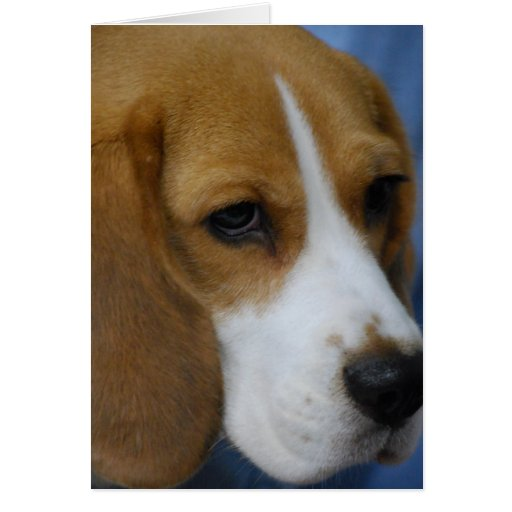 Cute Beagle  Greeting Cards