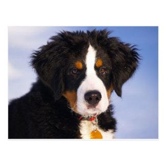 Cute Bernese mountain dog Postcard