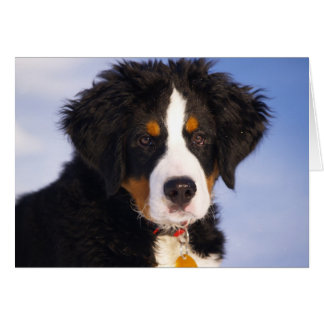 Cute Bernese Mountain Dog Puppy Picture Card