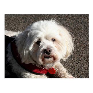 Cute bichon frise dog postcard
