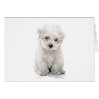 Cute Bichon Frise Greeting Card