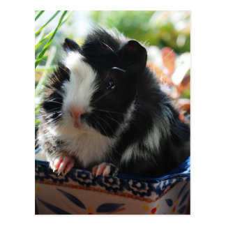Cute Black and White Guinea Pig Postcard