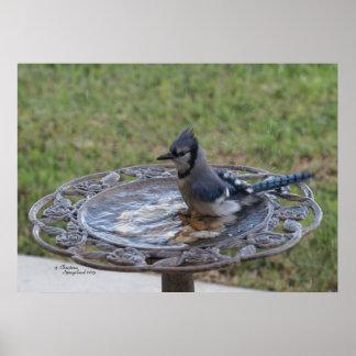 Cute Blue Jay Bird bathing Spiegeland Poster