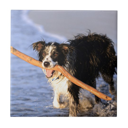 Cute border collie dog with stick on beach