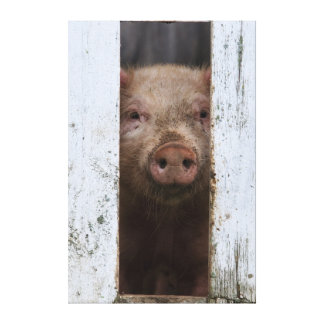 Cute But Sad Looking Baby Pig Looking Through Gallery Wrapped Canvas