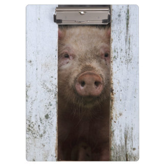 Cute But Sad Looking Baby Pig Looking Through Clipboard