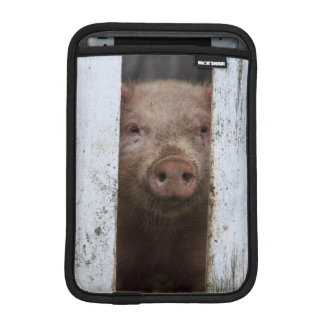 Cute But Sad Looking Baby Pig Looking Through iPad Mini Sleeve