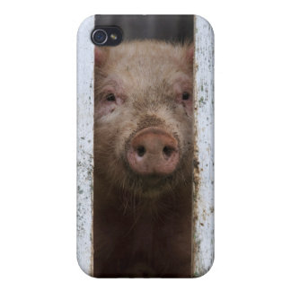 Cute But Sad Looking Baby Pig Looking Through iPhone 4 Cover