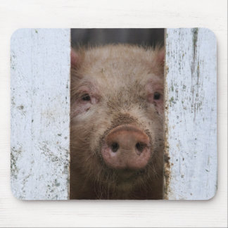 Cute But Sad Looking Baby Pig Looking Through Mouse Mat