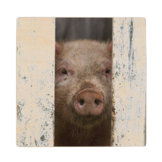 Cute But Sad Looking Baby Pig Looking Through Wood Coaster