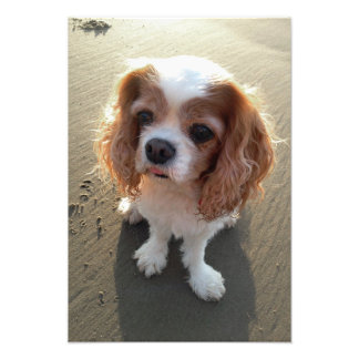 Cute Cavalier King Charles Spaniel Dog at Beach Photographic Print