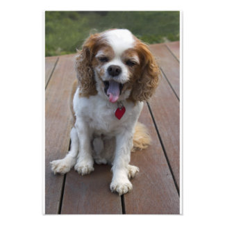 Cute Cavalier King Charles Spaniel Dog Yawning Photographic Print