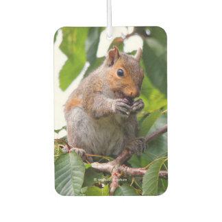 Cute Cherry Picking Eastern Grey Squirrel