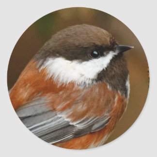 Cute Chestnut-Backed Chickadee on the Pear Tree Round Sticker