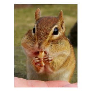 Cute Chipmunk Nibbling a Peanut Postcard