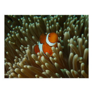 Cute Clownfish on the Great Barrier Reef Poster