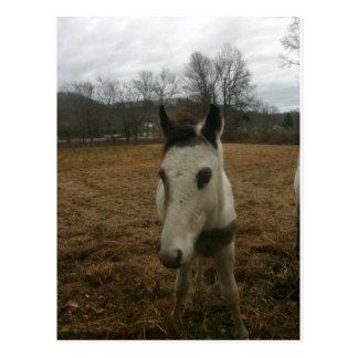 Cute Colt (baby horse) Postcard