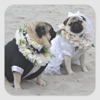 Cute couple bride and groom pugs square sticker