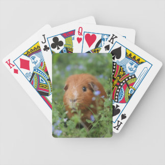 Cute cuddly ginger guinea pig outside on grass bicycle playing cards