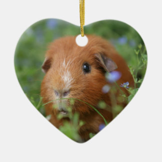 Cute cuddly ginger guinea pig outside on grass ceramic heart decoration