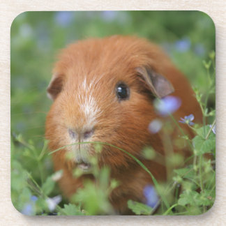 Cute cuddly ginger guinea pig outside on grass coaster