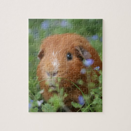 Cute cuddly ginger guinea pig outside on grass