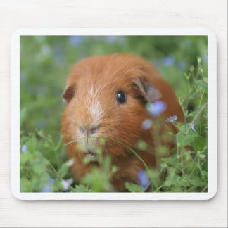 Cute cuddly ginger guinea pig outside on grass mouse pad