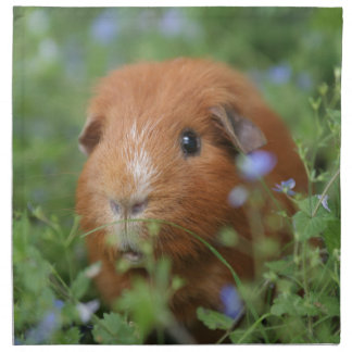 Cute cuddly ginger guinea pig outside on grass napkin