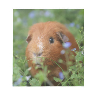 Cute cuddly ginger guinea pig outside on grass notepad
