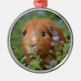 Cute cuddly ginger guinea pig outside on grass Silver-Colored round decoration