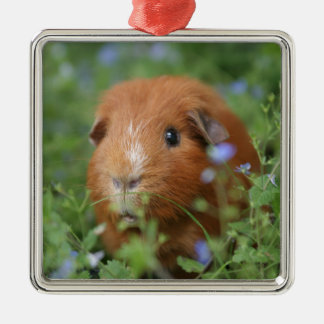 Cute cuddly ginger guinea pig outside on grass Silver-Colored square decoration