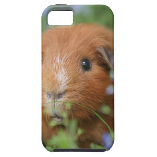 Cute cuddly ginger guinea pig outside on grass tough iPhone 5 case