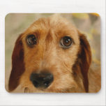 Cute Dachshund (Brown Wire Haired) in Daffodils Mouse Pad