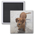 Cute Dachshund Collection Square Magnet