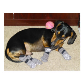 Cute Dachshund Wearing Socks Postcard