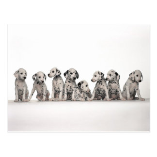 cute dalmation puppies pupy pup pups dog dogs postcard
