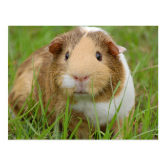 Cute Domestic Guinea Pig Postcard