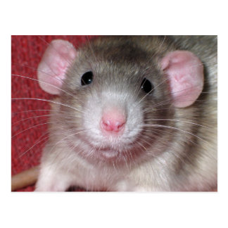 Cute Dumbo Rat Postcard