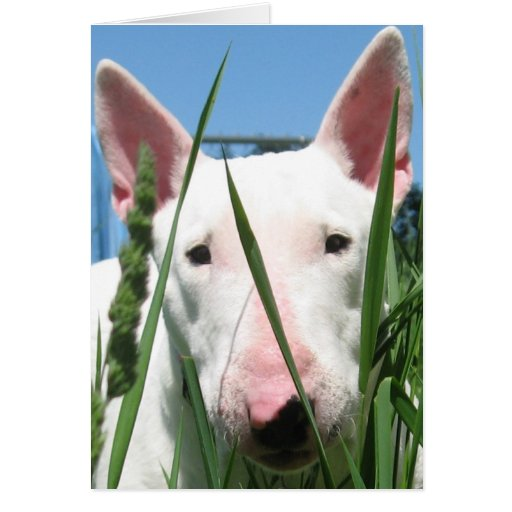 Cute English Bull Terrier Card