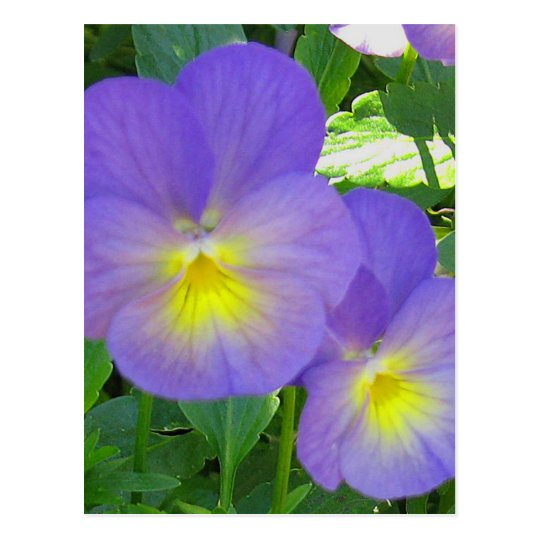 Cute Faced Pansy Postcard