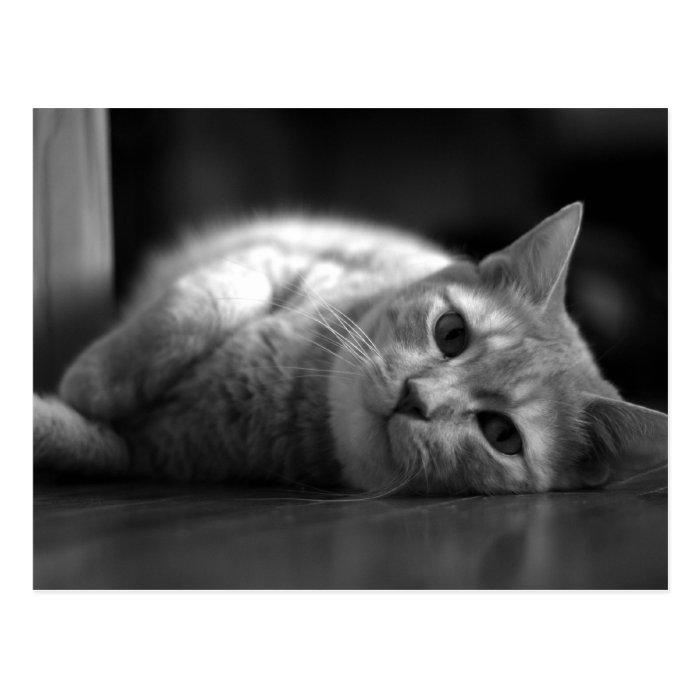 Cute Fat Cat Postcard