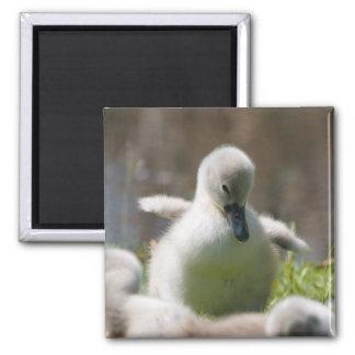Cute fluffy cygnet baby swan magnet, present
