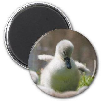 Cute fluffy cygnet baby swan magnet, present 6 cm round magnet