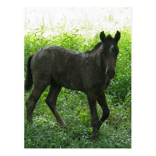 Cute Foal Postcards