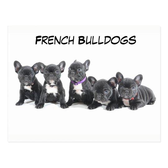 Cute French Bulldog Puppies Postcard