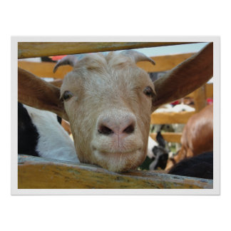 Cute Friendly Goat Poster
